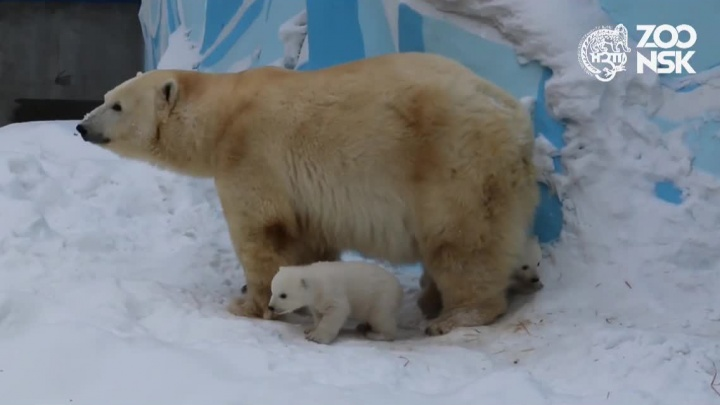 Мишки нашлись: белые медвежата вышли на первую прогулку в зоопарке