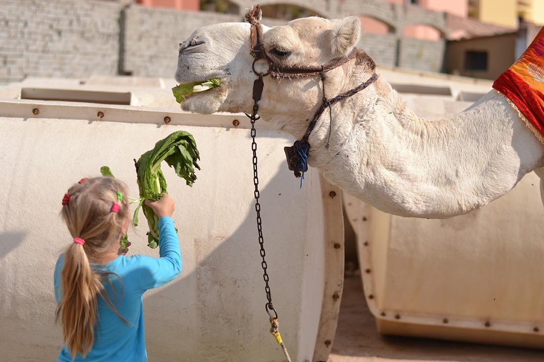 Дочка кормит верблюда