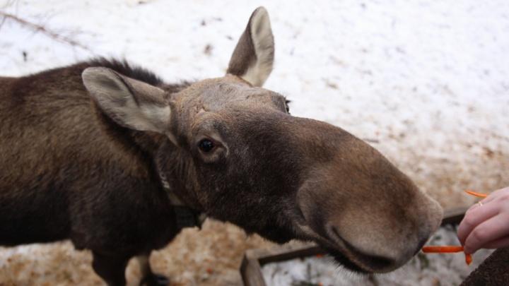 Жители Московского региона заплатили почти четыре миллиона рублей за убийство лосей