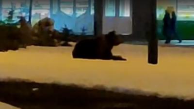Моя земля — где хочу, там и лежу: в центре Салавата жители сняли на видео медведя