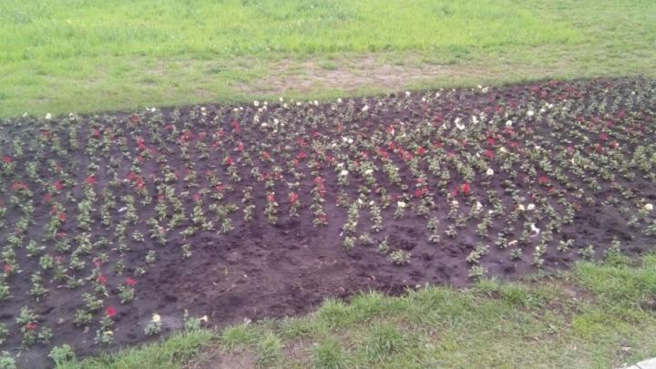 Цветочные вандалы: уфимцы воруют растения с клумб