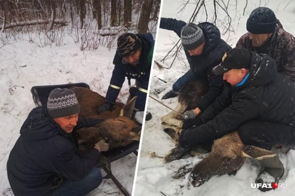 Для спасения молодой лосихи развернули целую операцию
