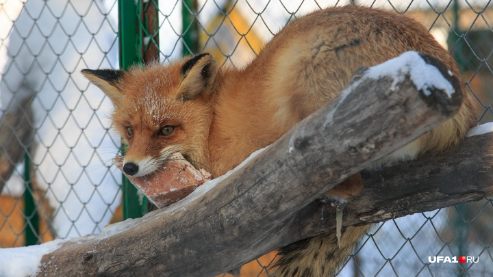 Бешеная лиса покусала бычка: в Башкирии объявили карантин по бешенству