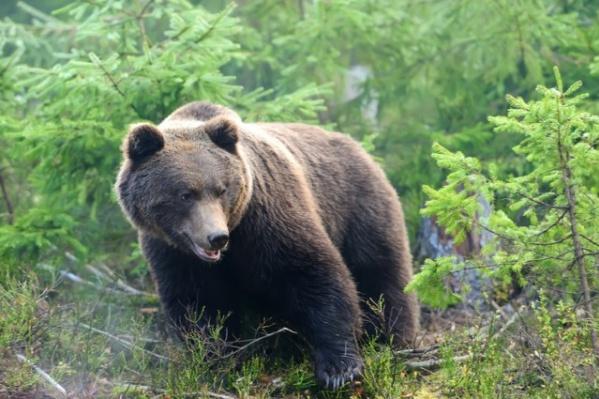 Медведя привлекла лёгкая добыча