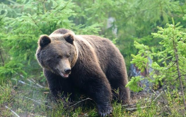 В Ярославской области медведь разорил хозяйство местного егеря