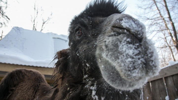 В Башкирии на видео попал верблюд со всадником на горбу