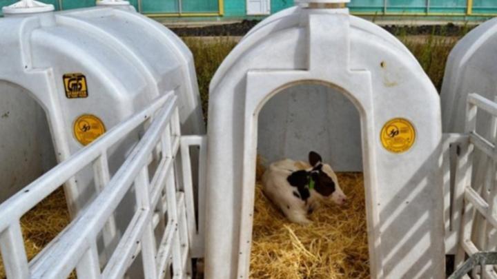 Прибавится рогов и копыт: в Самарской области планируют построить три крупные фермы