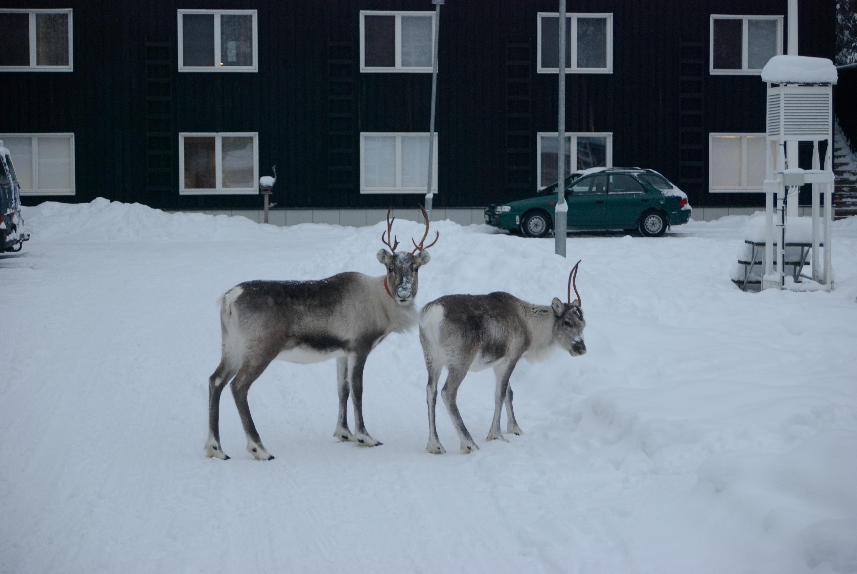 На севере, в Лапландии, можно встретить оленей в маленьких городках