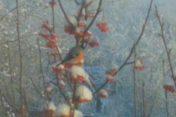 Снегиря заметили на ветке рябины в Первомайском районе