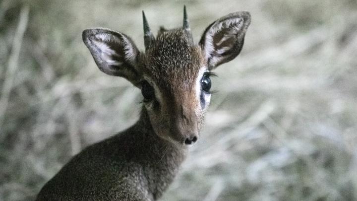 В Новосибирском зоопарке родилась маленькая пугливая антилопа