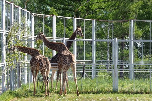 Сегодня жирафы первый день проводят на улице