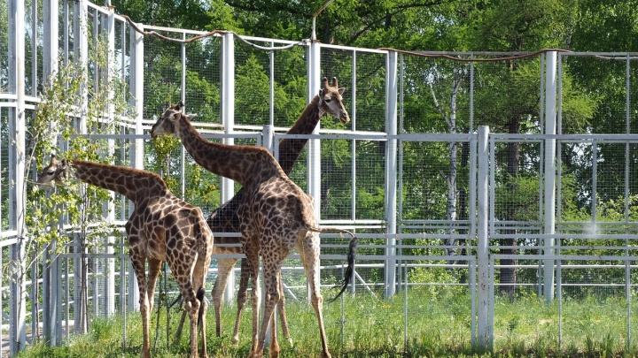 С наступлением жары жирафов из зоопарка выпустили в уличный вольер пожевать листву
