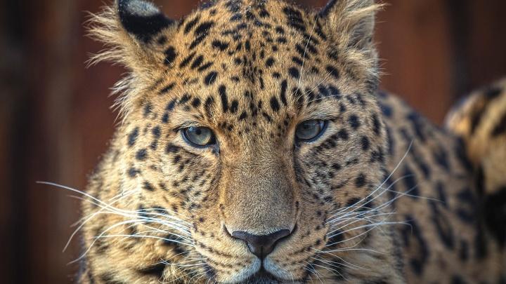Редкий леопард Кирин отпраздновал в «Роевом ручье» свой 10-летний юбилей