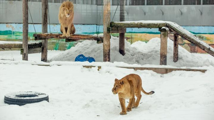 В Ярославле овдовевшего льва утешила столичная львица