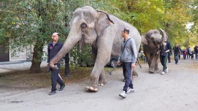 По Волгограду слонов водили