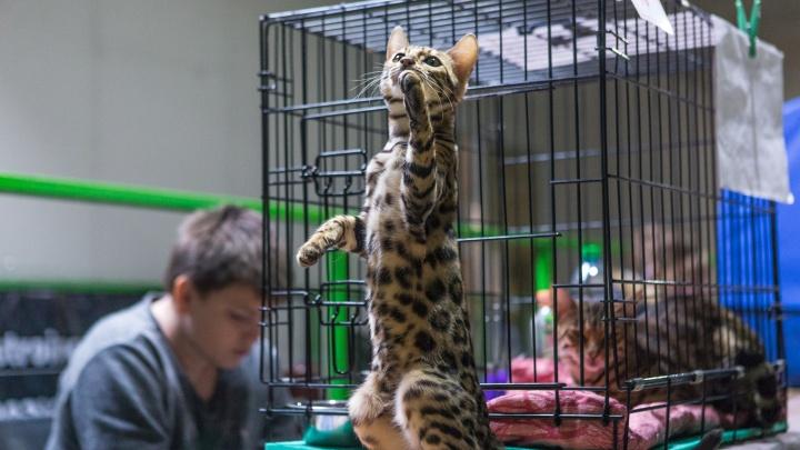 Ушки и хвостики:в Новосибирске прошла выставка кошек (их так и хочется потискать)