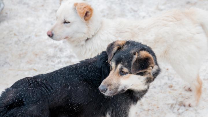В Самаре выловят 1100 безнадзорных собак и 19 кошек