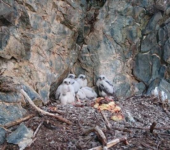 Птенцы балобанов до смены оперения