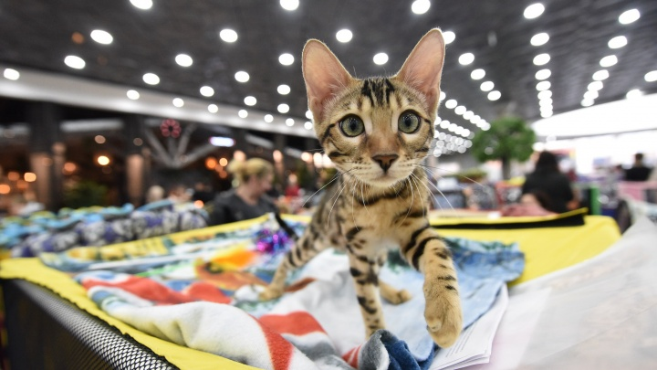 Устанете умиляться: рассматриваем пушистых, кудрявых и лысых котов на выставке в «Гринвиче»