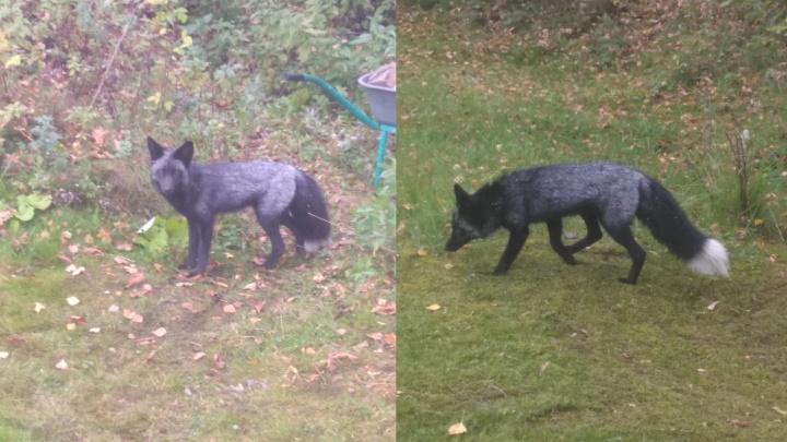 «Не хотелось бы, чтобы пристрелили»: вЯрославле искали хозяев чернобурой лисичке