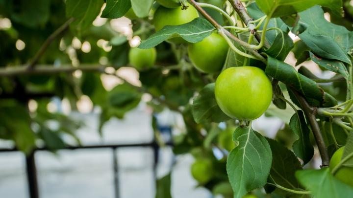 Фото: на яблонях в центре Новосибирска появились первые плоды