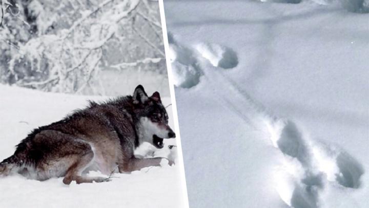 Загрызли косулю: в «Самарскую Луку» вернулись волки