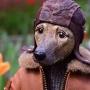 Аристократы и модники: смотрим и умиляемся кукольным собачкам из Северодвинска