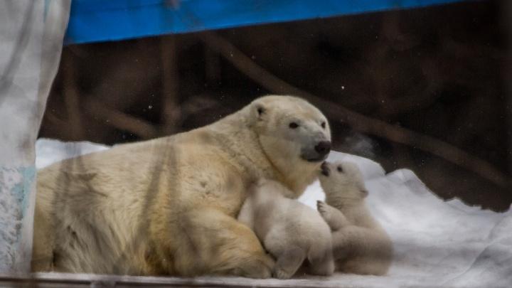 Двойная доза милоты: белые медвежата впервые вышли из берлоги в зоопарке