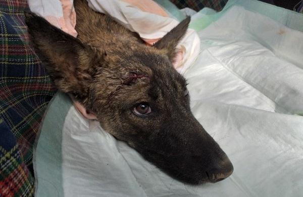 Пермские зоозащитники спасли умирающую собаку, которую покалечили живодеры