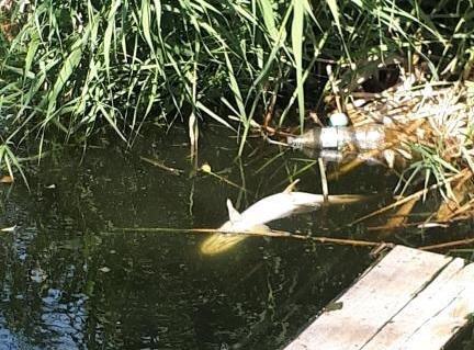 «Ищем источник загрязнения»: в Волгограде продолжают выяснять причину гибели рыбы в Вишневом пруду