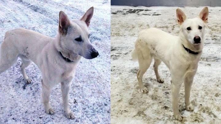 «Заглядывает в каждую машину»: в Прикамье ищут хозяев пса, живущего на заправке в Кунгурском районе
