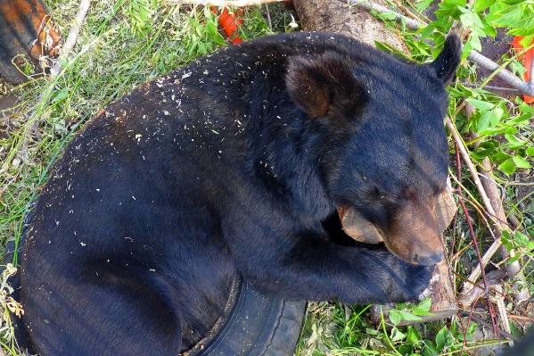 Медведь Кузя спит после плотного ужина