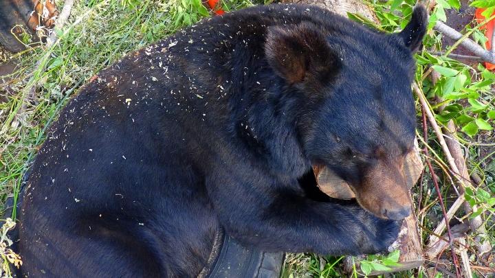 Омских медведей перевели на усиленное питание перед спячкой. Они объедаются рыбой и яблоками