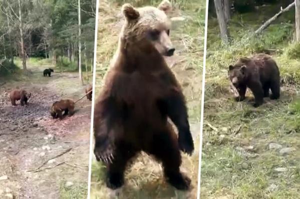 Рассылка о большой группе медведей в Новосибирском районе области началась утром 10 сентября