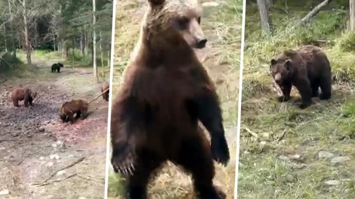 «Четыре медведя на трассе»: новосибирцы получили видео с медвежатами на Северном объезде