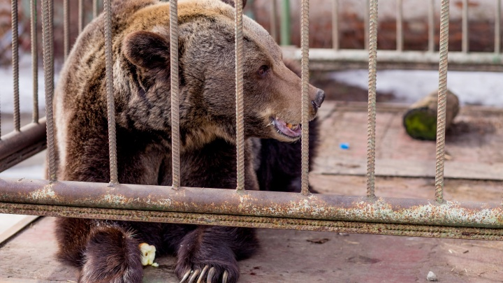 Символ Ярославля Маша, бодрствуя, отметила День медведя