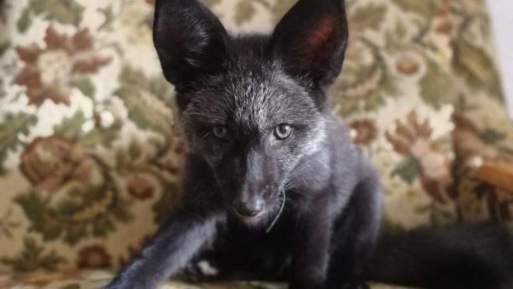 «За 15 минут может на 3 километра убежать»: под Екатеринбургом пропала ручная чернобурая лисица