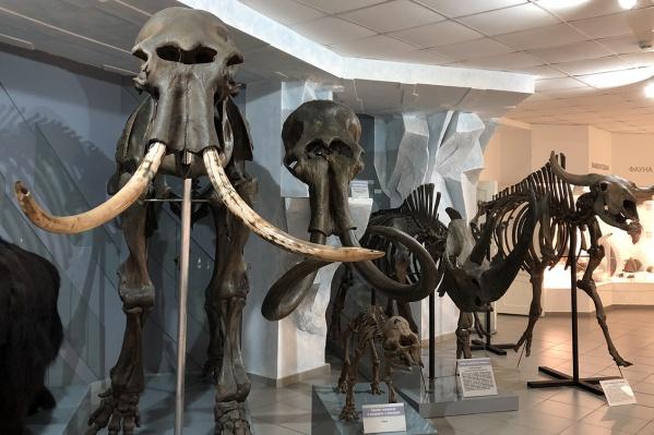 В Музее природы рядом со скелетами мамонта и шерстистого носорога появился скелет первобытного бизона