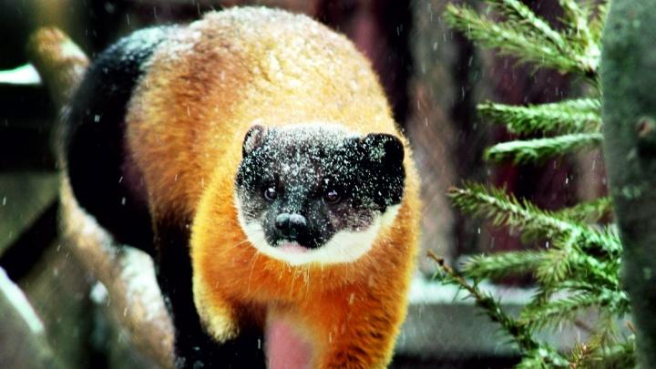 Хитрая Герда обогнала Селену: в зоопарке Екатеринбурга выбрали самую красивую самку