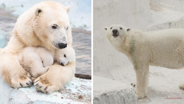 Первому медвежонку, родившемуся в новосибирском зоопарке, исполнилось 6 лет. Смотрим, как выросла Шилка