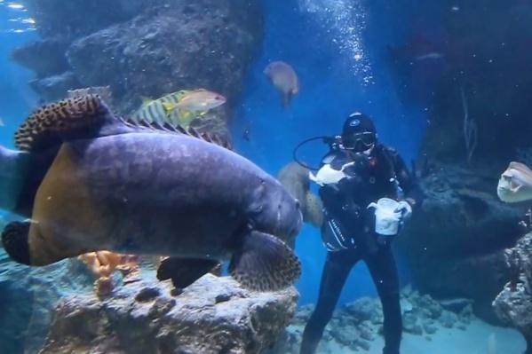 Акул и скатов накормили блинами, приготовленными из кальмаров