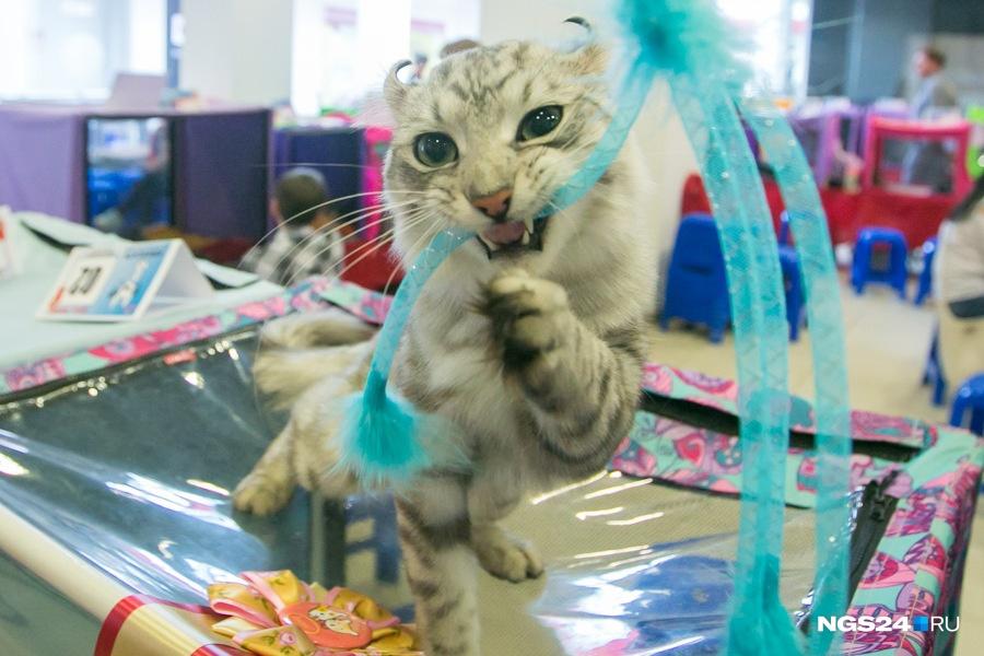 Из-за напавшей нахозяев кошки под Назарово вводят карантин побешенству