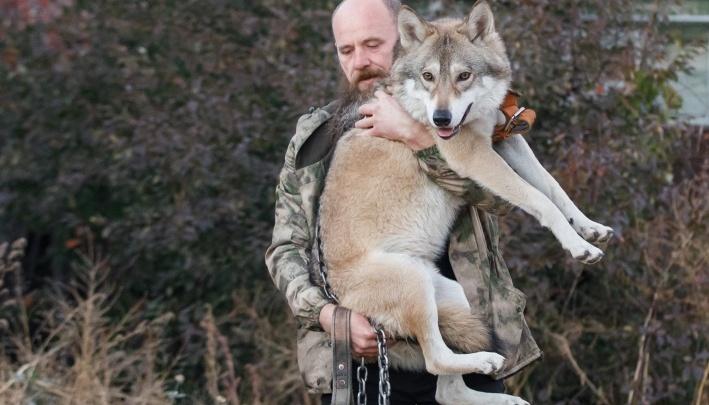 «Будет сниматься без поводка»: знаменитого волгоградского волка отправят в лес к партизанам
