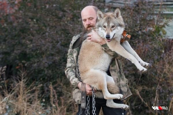 Иван Лебедев настраивает своего волка на спокойную работу