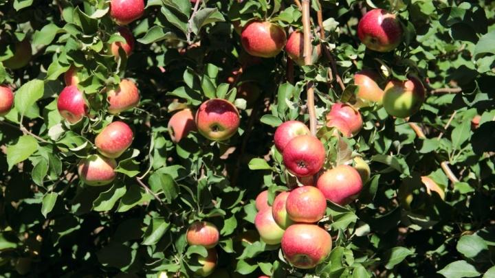 В «Садах Придонья» в разгаре яблочный сезон
