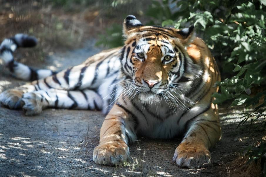Одна из тем конкурса сформулирована как «У меня дома живет амурский тигр»