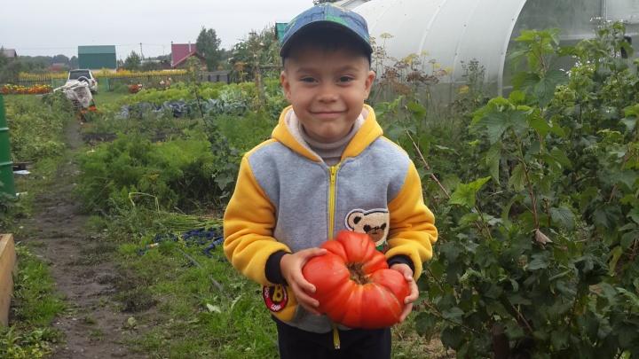 Новосибирец вырастил помидор весом в 1,5 килограмма