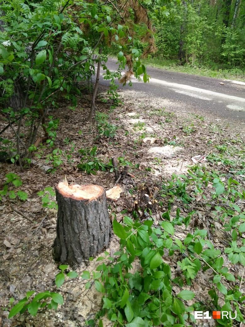 Часть деревьев уже вырубили