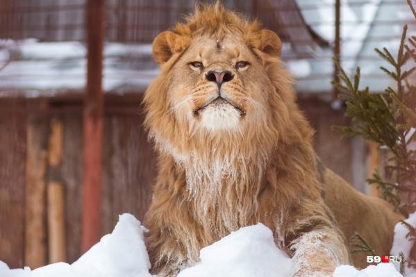 Царь? Ну, конечно, царь, неужели не видно! Лев часто принюхивается к весенним ароматам и носится по вольеру