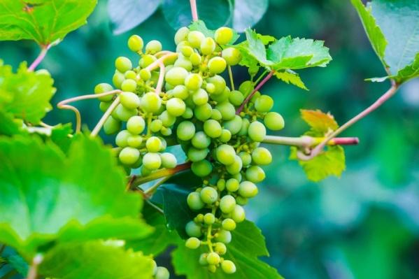Винограда собрали меньше, чем в позапрошлом году